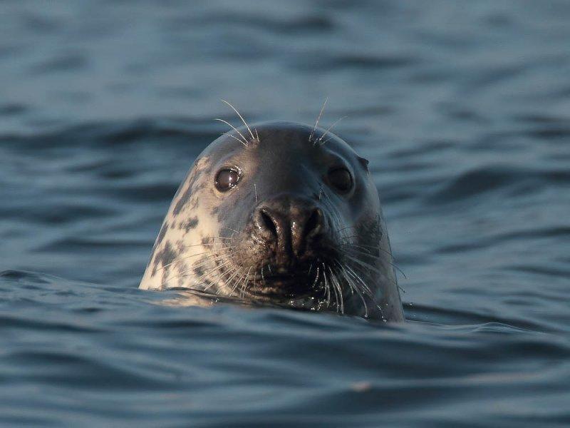 Grey seal having a curious look