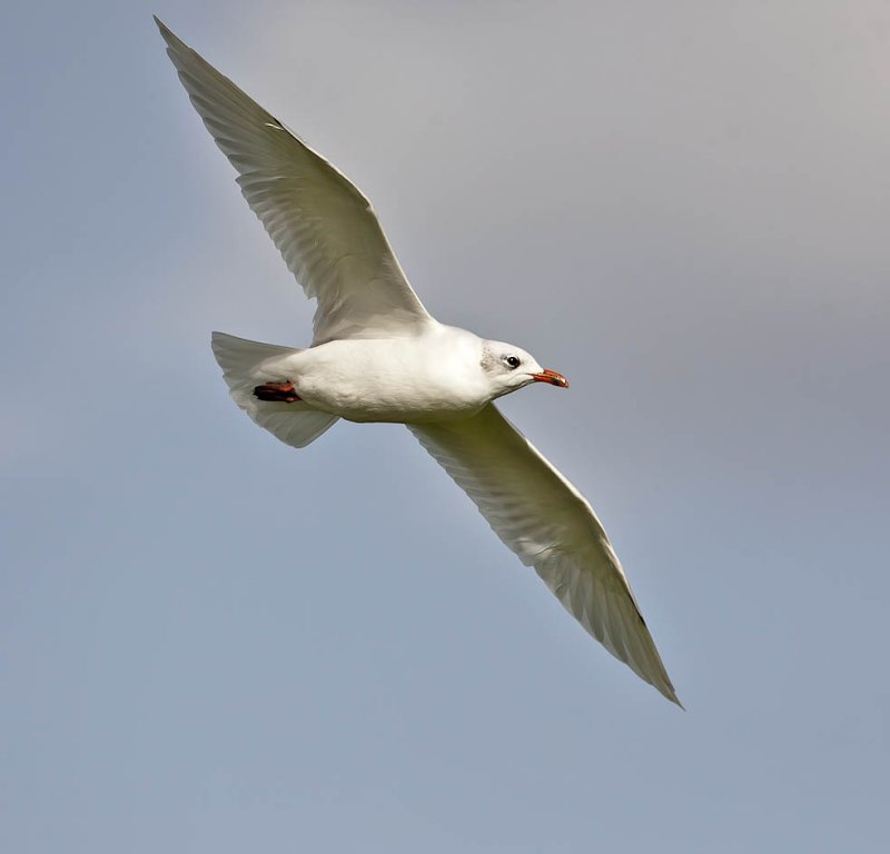 Mediterranean gull - an adult in winter plumage having lost its black hood. No. 141 for the Crail year list.